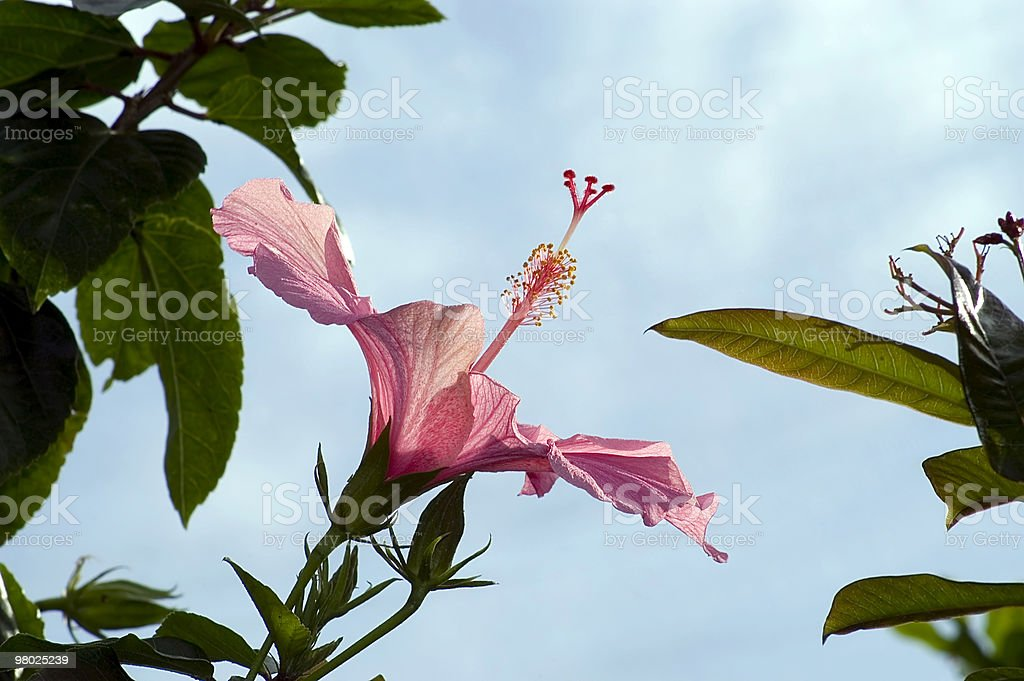 Hibiscus flower in profile with copyspace royalty-free stock photo