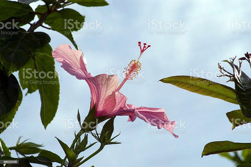 Ibisco fiore nel profilo con spazio per il testo foto stock royalty-free