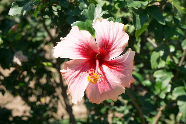 hibiskus blume im garten. - hibiskus blume tattoos stock-fotos und bilder