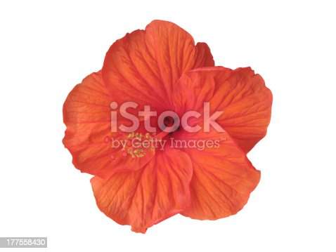 483422527istockphoto Hibiscus flower isolated on white (clipping path included) 177558430