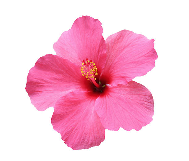 hibiscus flower - isolated, path included - hawaiian flowers stock photos and pictures