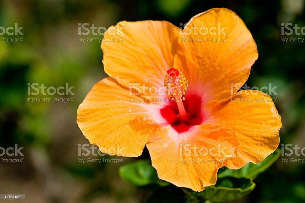 Hibiscus flower orange royalty-free stock photo