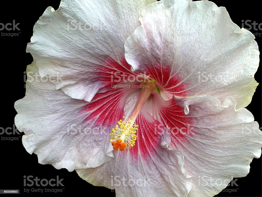 Hibiscus flower royalty free stockfoto
