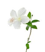 White hibiscus flower with leaves isolated on white