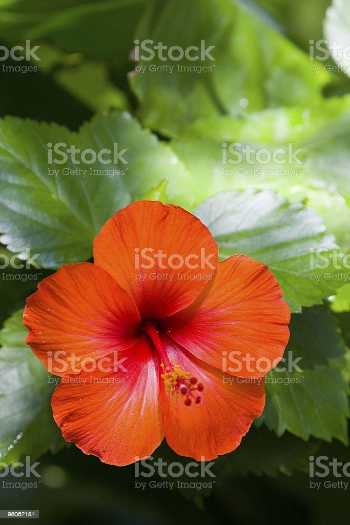Hibiscus Flower royalty-free stock photo