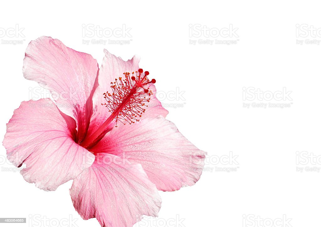 hibiscus flower pink isolated on white stock photo