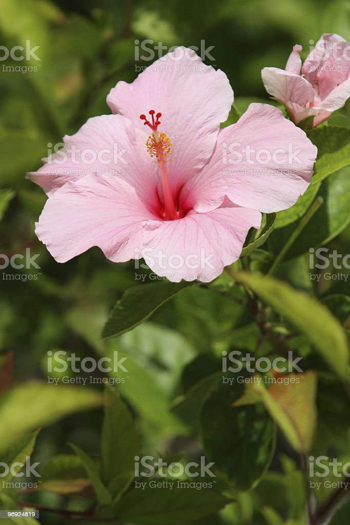Hibiscus Flower Pink royalty-free stock photo
