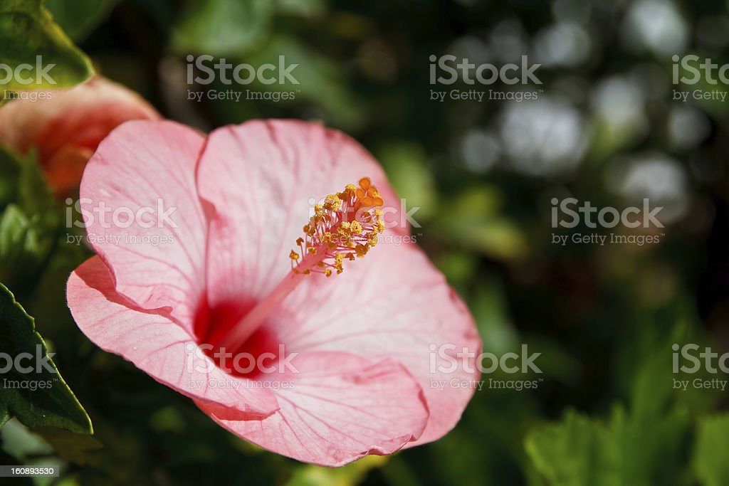 Hibiscus flower pollen. royalty-free stock photo