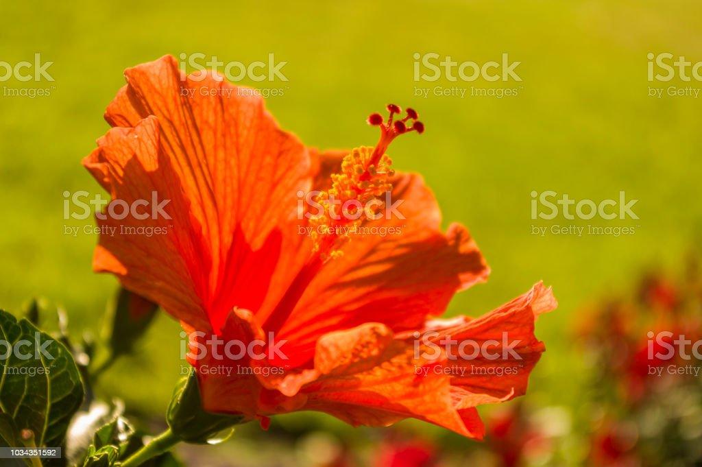 Hibiscus Flower Red Orange With Stamen Stamens Bokeh Stock Photo