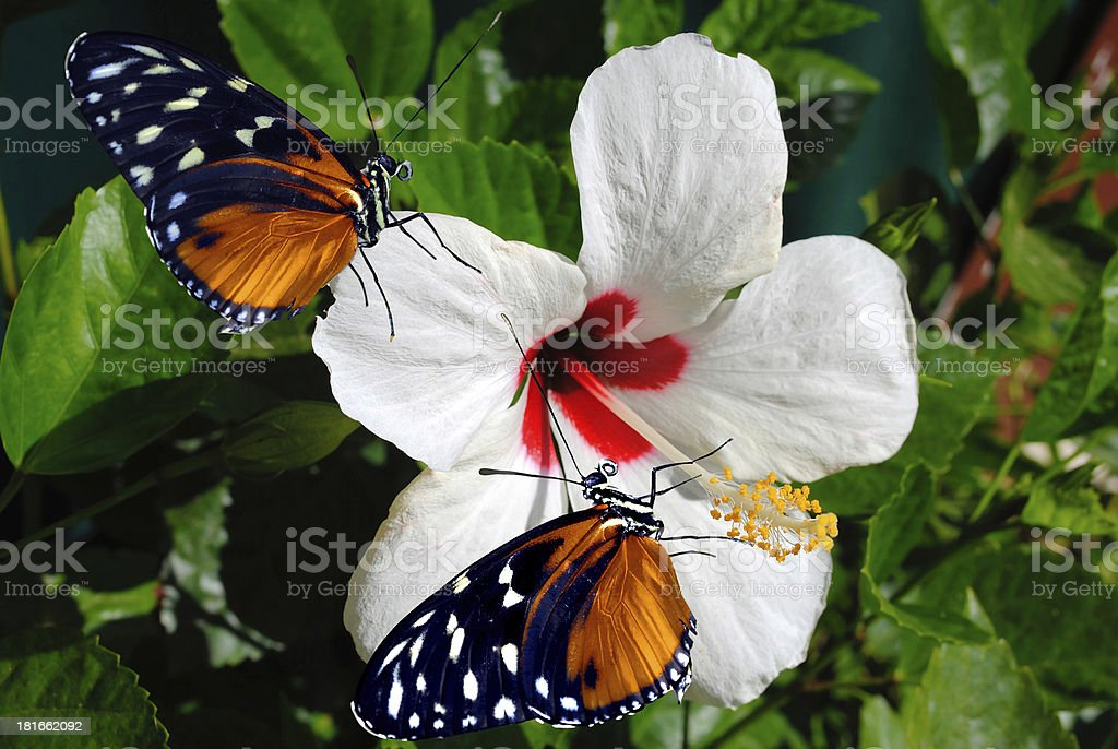 Hibiscus flower with 2 Heliconius hecate butterflies royalty-free stock photo