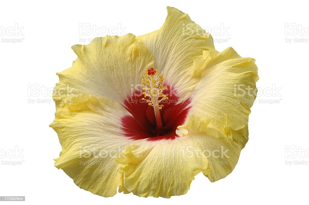 Hibiscus Flower with Path royalty-free stock photo