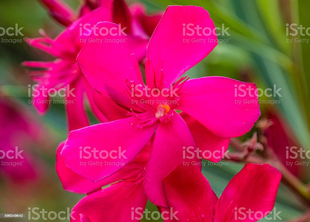 Hibiscus flowers background royalty-free stock photo