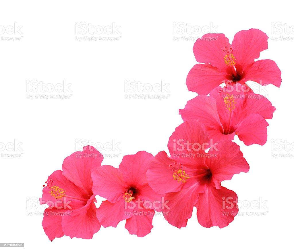 Hibiscus flowers corner design stock photo