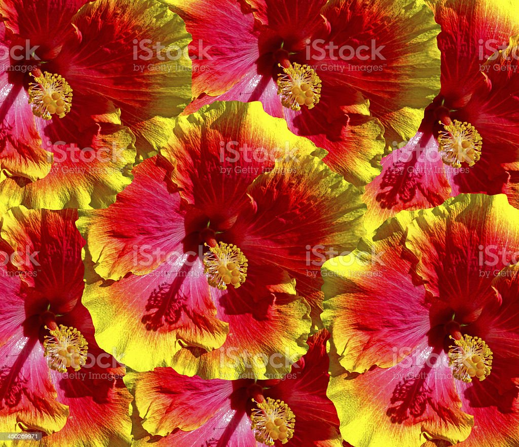 Hibiscus Flowers Hawaii royalty-free stock photo
