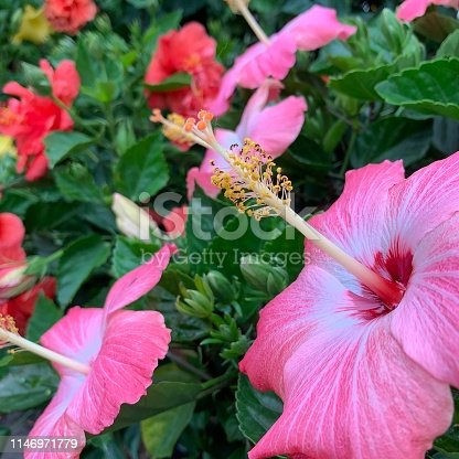 Pink Hibiscus.  iPhone