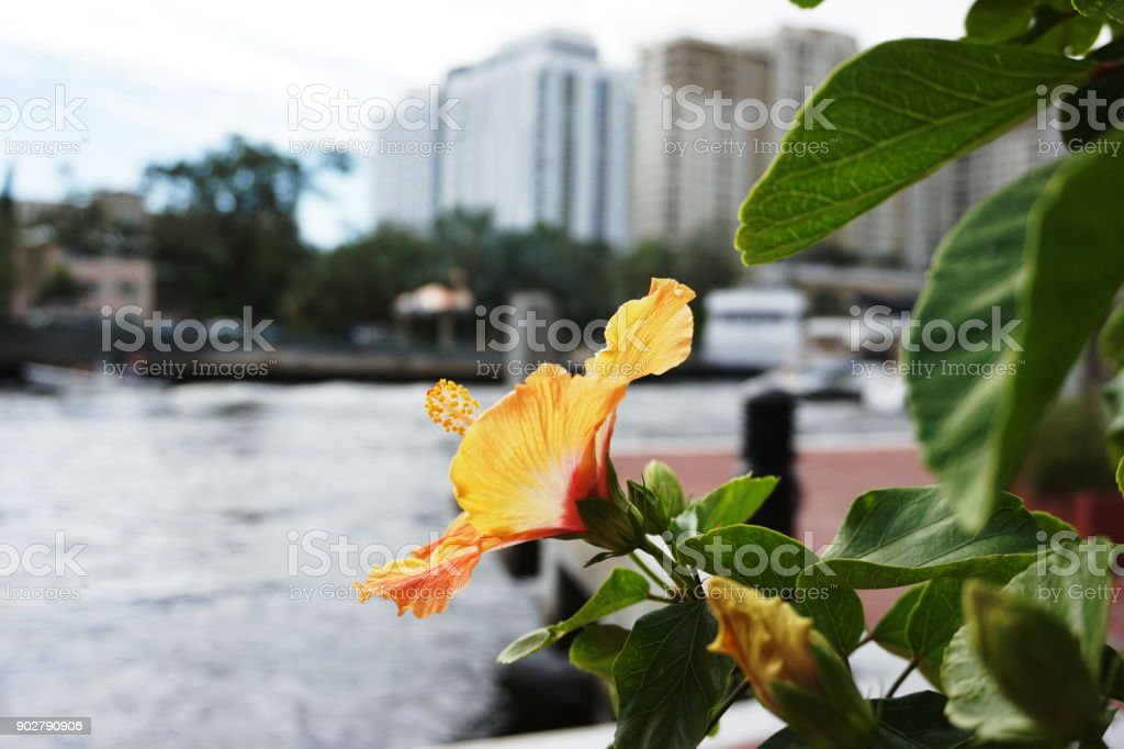 Hibiscus Flowers in Cityscape stock photo