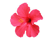 Hibiscus flowers isolated on white background