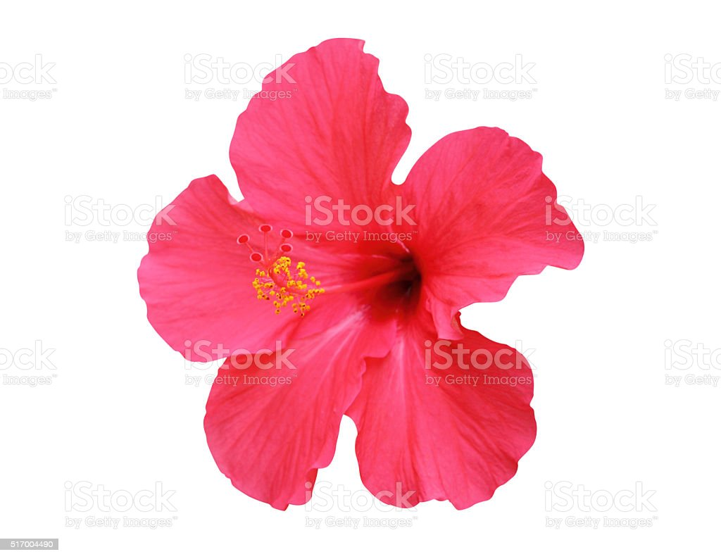 ハイビスカスの花に隔てられた白の背景 ストックフォト