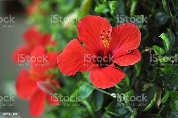 Hibiscus flowers picture id182366801?b=1&k=6&m=182366801&s=612x612&h=t6krazccvlhilughn5mkwku90wqac0 qpdy27cbhqdy=