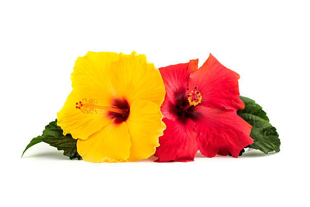 hibiscus flowers with leaves - hawaiian flowers stock photos and pictures