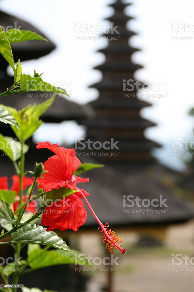 Hibiscus in Bali stock photo