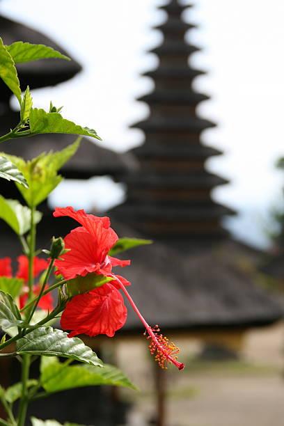 Hibiscus in Bali stock photo