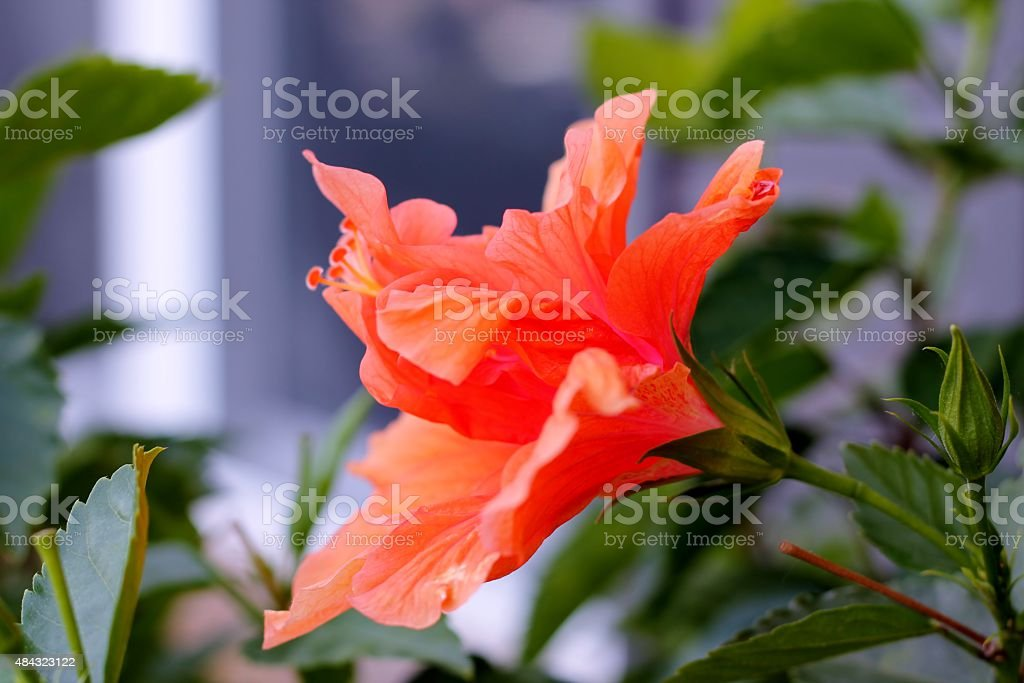 Hibiscus in Bloom stock photo