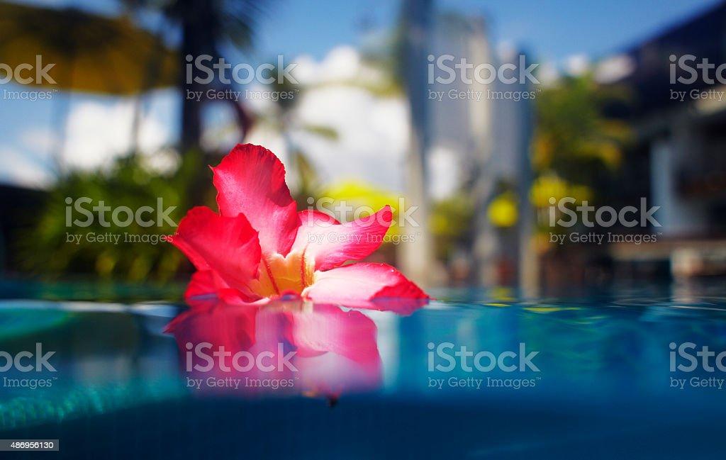 Hibiscus in hotel pool stock photo