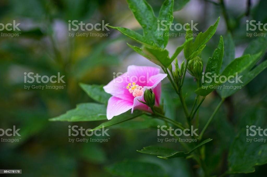 Hibiscus is thai flower royalty-free stock photo