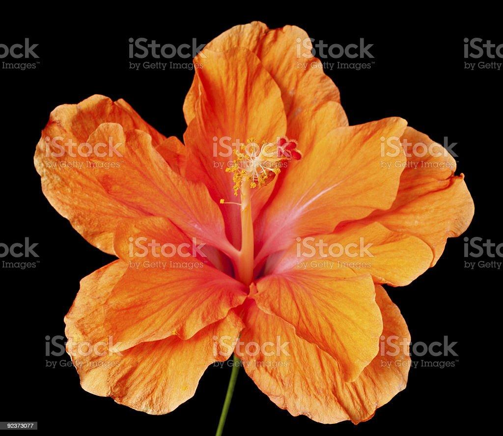 hibiscus Isoliert Lizenzfreies stock-foto