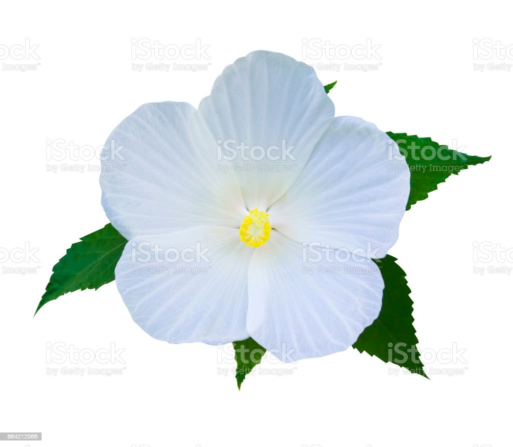 Hibiscus. Karkade. Hibiscus flower. royalty-free stock photo