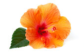 Hibiscus laying down