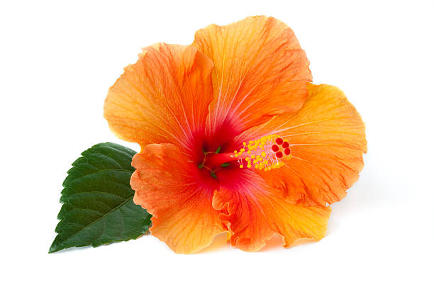 Hibiscus laying down stock photo