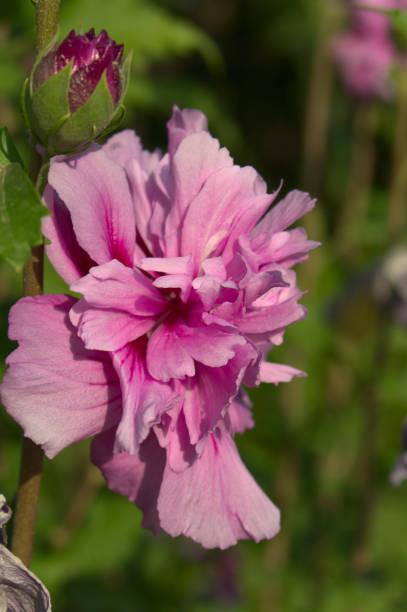 hibiscus magenta chiffon - foto de stock