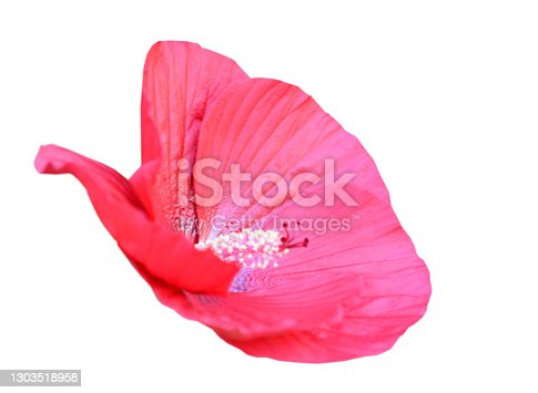 hibiscus moscheutos flower isolated blooming