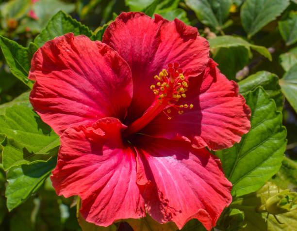 hibiskus oder cayenne, rot - hibiskus blume tattoos stock-fotos und bilder