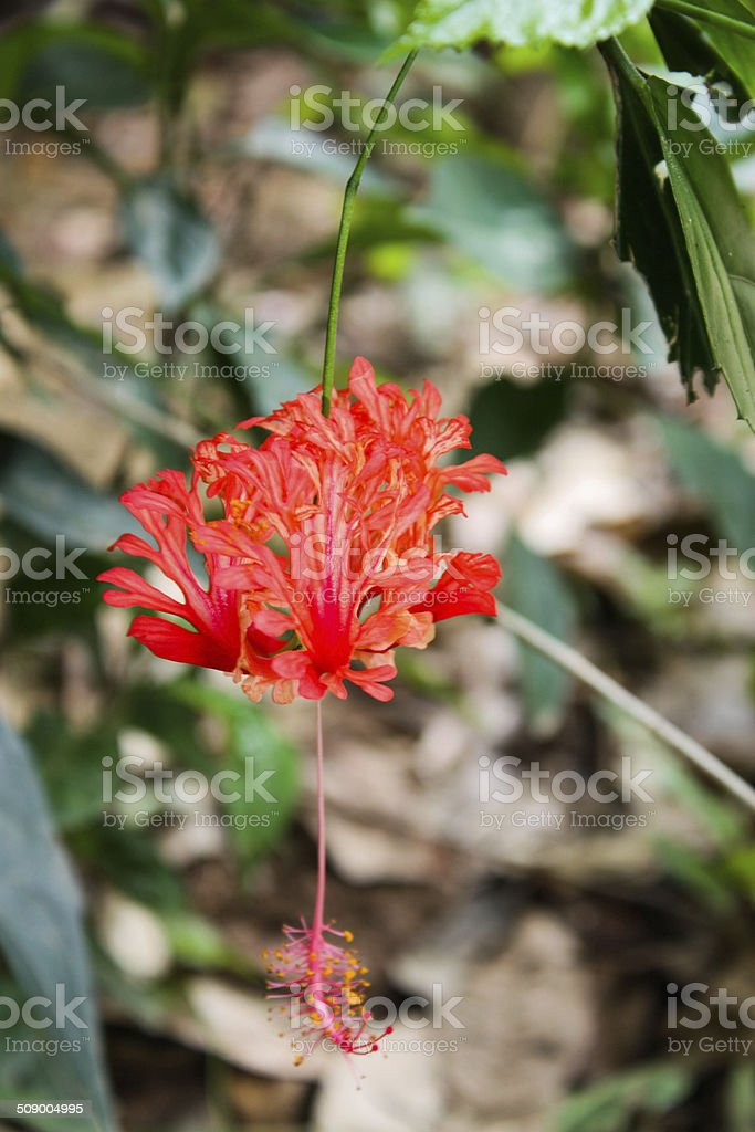 Hibiscus or chinese flowers royalty-free stock photo