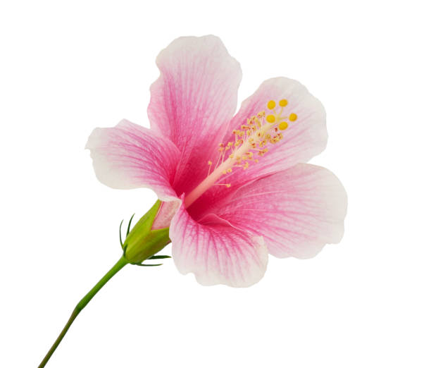 Hibiscus or rose mallow flower tropical pink flower isolated on white picture id1177211103?b=1&k=6&m=1177211103&s=612x612&w=0&h=b7v2f9ov6y02n3ooy aslxh cqjsw18zbz2492uayoe=