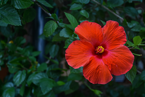 Denpasar, Bali, Indonesia : Hibiscus (Hibiscus rosa-sinensis L ) red color growing in the yard. Big flowers, red and odorles