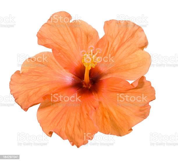 Hibiscus picture id184297041?b=1&k=6&m=184297041&s=612x612&h=yqgwdcfee5w2ztzlxisapfvu2tn0prk8f2r2zvirzec=