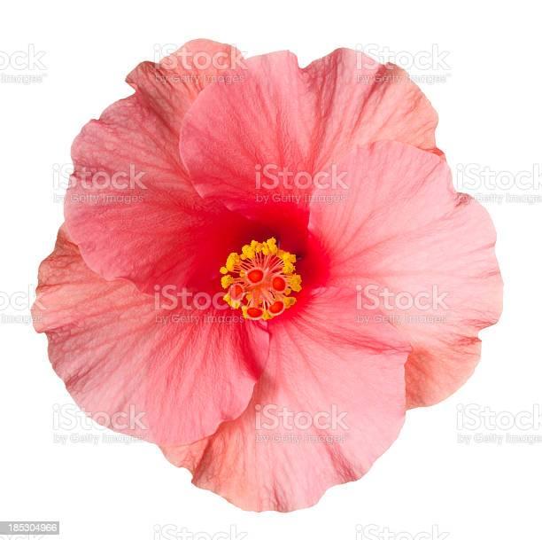 Hibiscus picture id185304966?b=1&k=6&m=185304966&s=612x612&h=9n2pfu29segfibasx9hbnqrnxga46ynyi1xaroishmk=