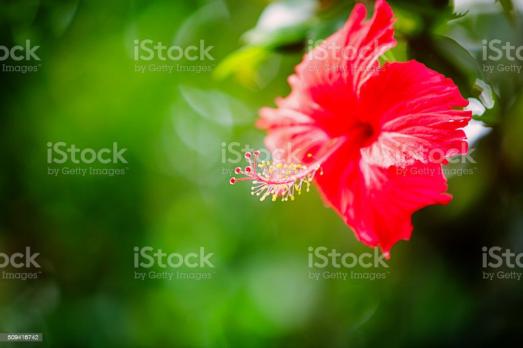 hibiscus stock photo