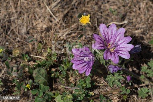 istock Hibiscus 673192448