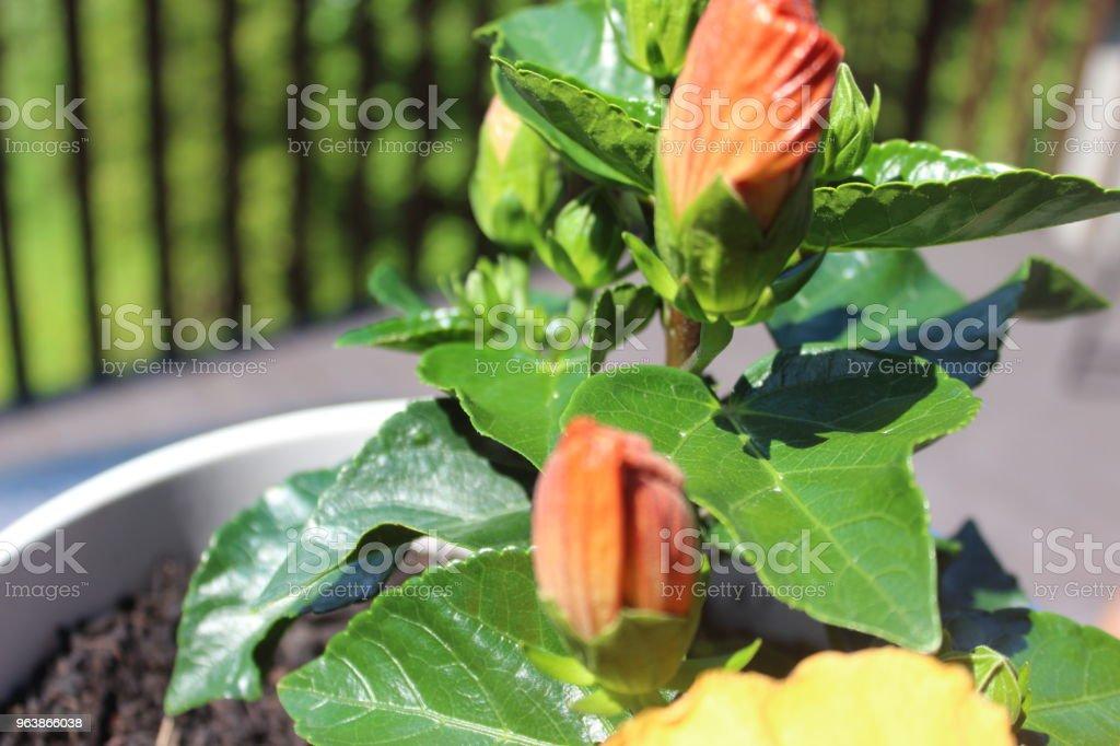 Hibiscus - Royalty-free Canada Stock Photo