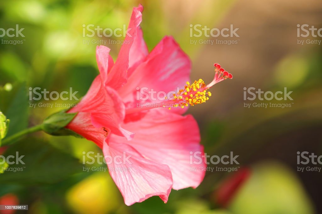 Hibiscus - pink close up stock photo