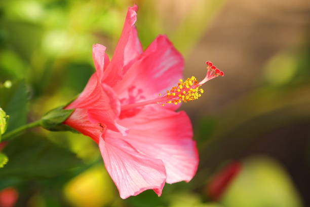 hibiscus - pink close up - pejft stock photos and pictures