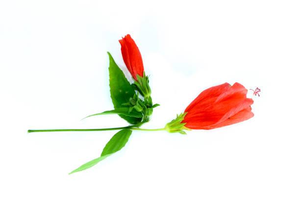 Hibiscus red close up picture id1125315117?b=1&k=6&m=1125315117&s=612x612&w=0&h=wmlpicwmc7qqwli1ejy9ebcq6xt9y3zpotmbc67efzy=
