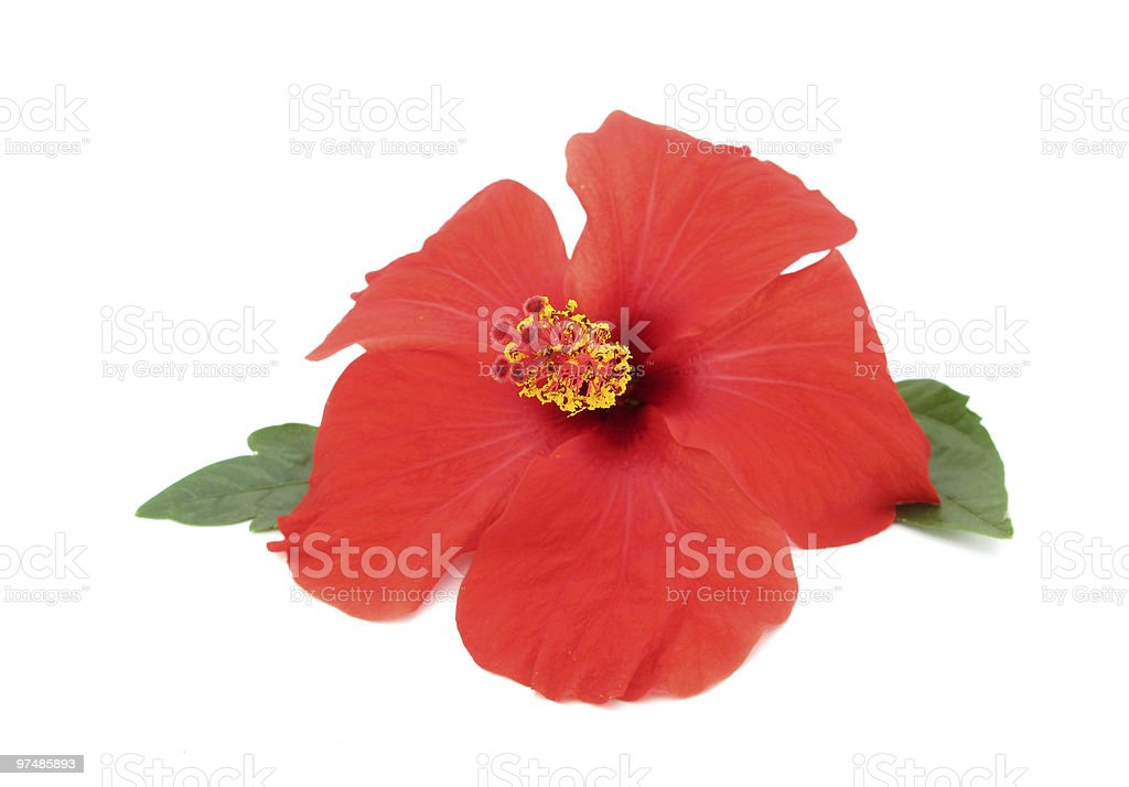 Hibiscus red flower isolated on white royalty-free stock photo