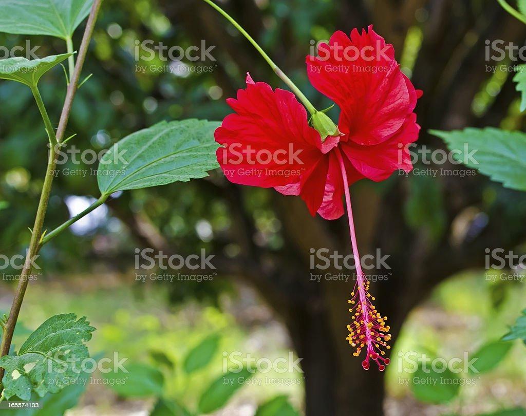 Hibiscus rosasinensis china rose flower stock photo more pictures hibiscus rosa sinensis china rose flower royalty free stock photo izmirmasajfo