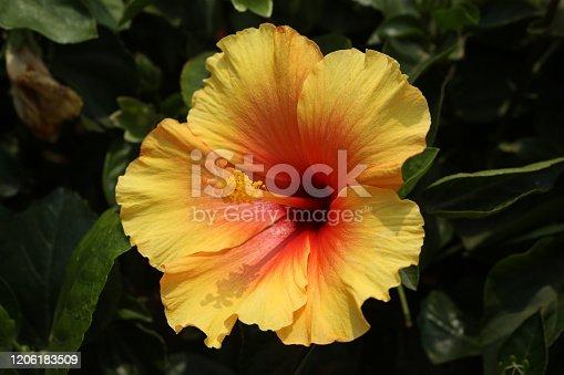 Hibiscus Rosa-Sinensis / Chinese Hibiscus